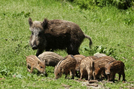 eber: Wildschwein-Familie