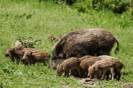 Wild boar family Stock Photo - 13778492