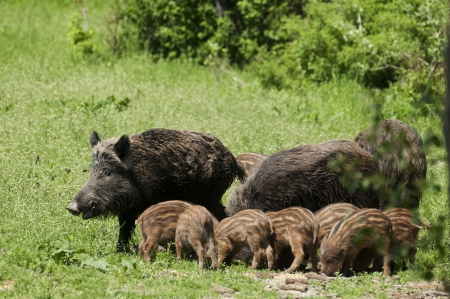 Wild boar family photo