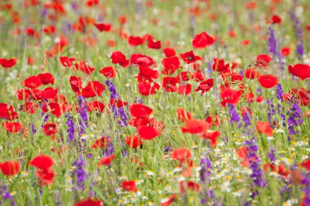 Corn flowers and red Poppy photo