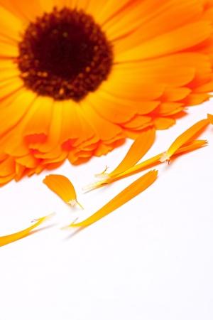 yelow: Yelow daisy flower isolated on white background