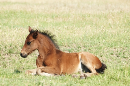 Foal on a summer pasture photo