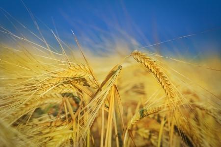 hay field: Campo di grano