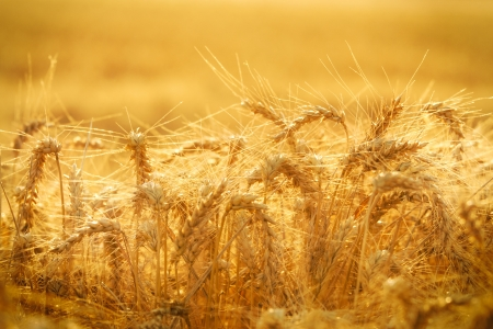 Wheat field Stock Photo - 14265351