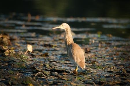 danubian: golden heron  ardeola ralloides