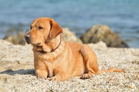 Happy Labrador Retriever playing at the beach Stock Photo - 15552700