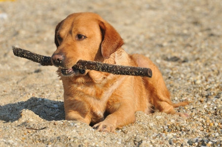 Happy Labrador Retriever playing at the beach Stock Photo - 15552701