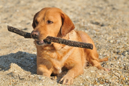 Happy Labrador Retriever playing at the beach photo