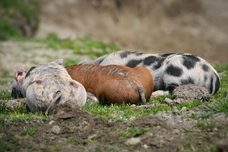Happy pig on green grass Stock Photo - 15607736