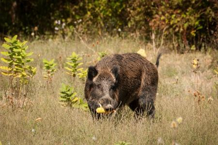 quadruped: Wild boar  Stock Photo