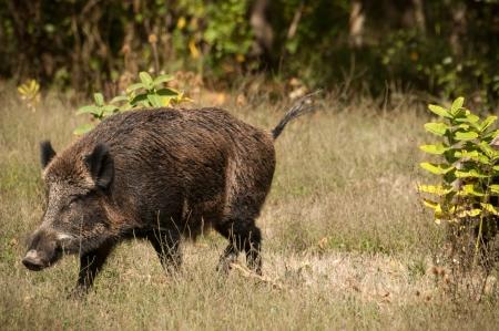 Wild boar  写真素材