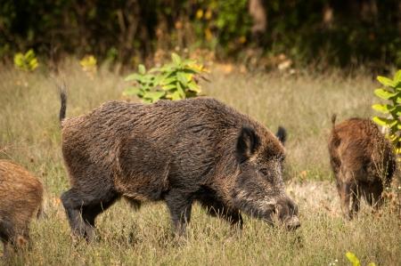 Wild boar  Standard-Bild
