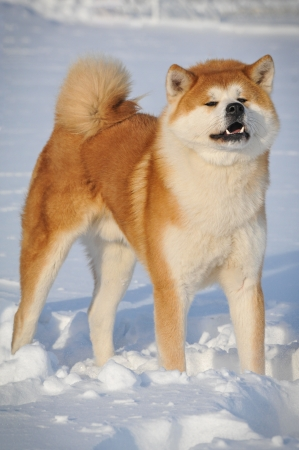Akita on the snow Stock Photo - 16890076
