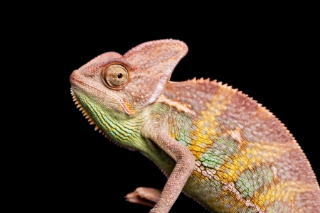 Closeup of chameleon photo