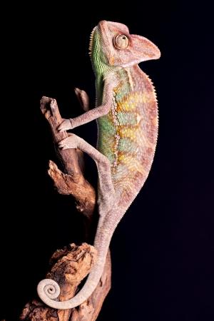 Closeup of chameleon photo