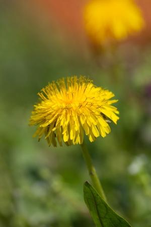 yelow spring  flowers photo