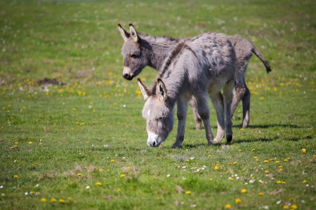 grey donkey on pasture photo