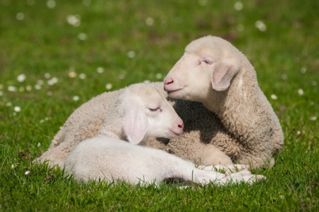 two little lambs photo