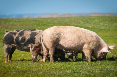 pigs  on the grass