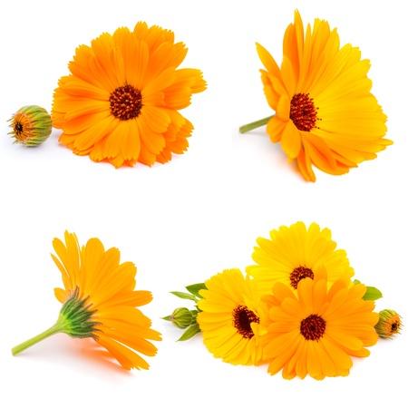 Calendula  flowers isolated on white 스톡 콘텐츠