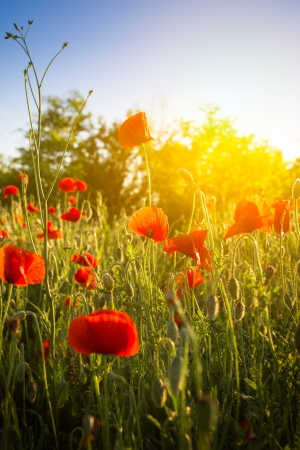 Field of Corn Poppy Flowers photo