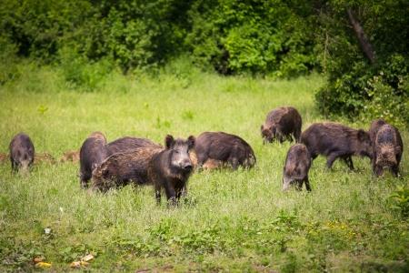 sanglier: Sauvage famille de sangliers
