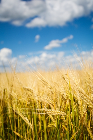 Wheat fields photo