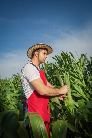 Farmer  analysing corn field photo