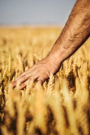 wheat crop: Concepto de cosecha de trigo Foto de archivo