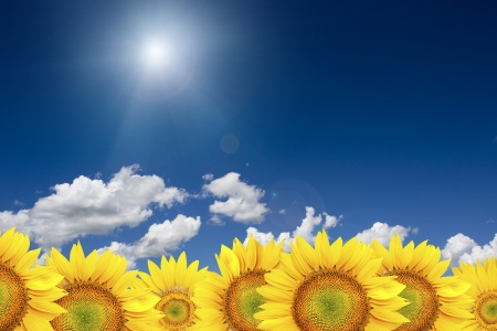 Sunflower background with blue sky photo