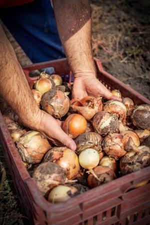 alliaceae: fresh onion in the basket Stock Photo
