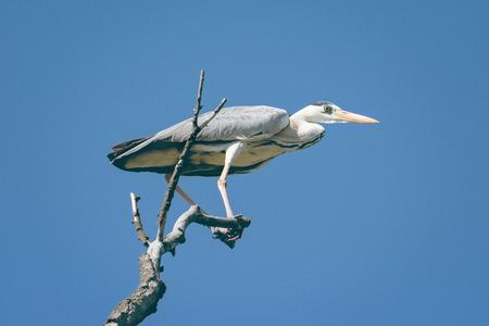 grey heron: Grey heron, Ardea cinerea