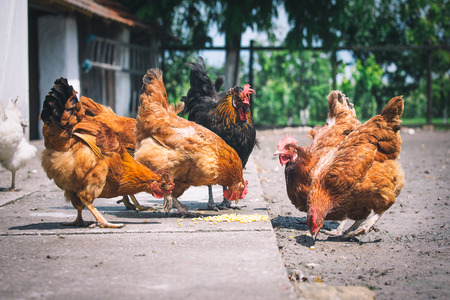 poultry farm: Chickens on traditional free range poultry farm Stock Photo