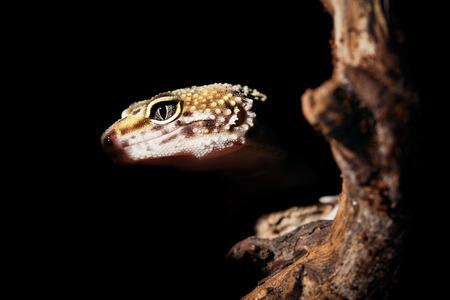 gecko: Leopard gecko Stock Photo