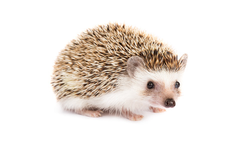 Hedgehog isolated Standard-Bild