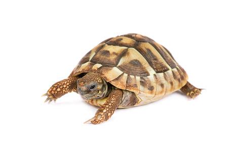 herpetology: Turtle isolated Stock Photo