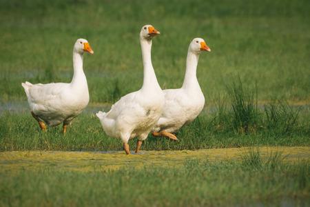 breeding ground: Geese on green grass