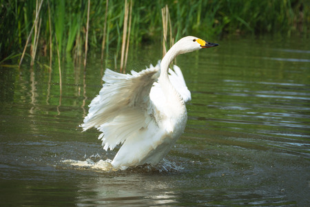 spreading: White swan spreading its wings Stock Photo