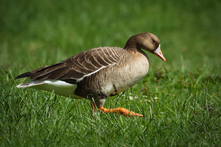 white fronted goose: Wild Geese in the natural environment.