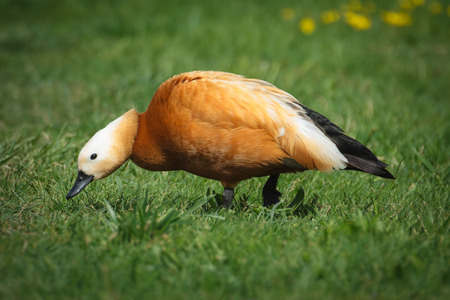 Ruddy Shelduck Tadorna ferruginea photo