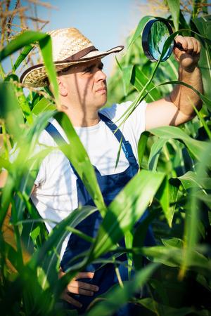 food inspection: Farmer checking his cornfield Stock Photo