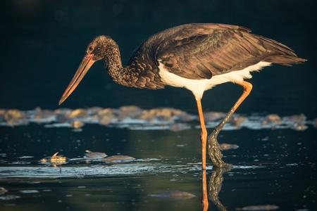 black stork: Black Stork