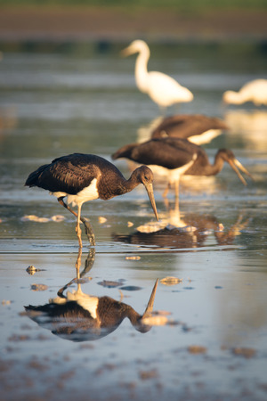 migration: black stork catching fish in the lake on migration Stock Photo