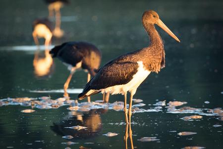 black stork: black stork Stock Photo