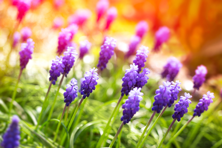 hyacinths: Grape hyacinth flowers