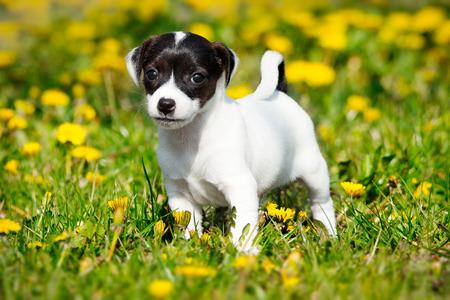 Jack russell terrier in garden