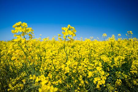 rapaseed: canola field on a sunny blue sky day