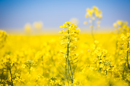 Yellow field with oil seed rapeseed in early spring