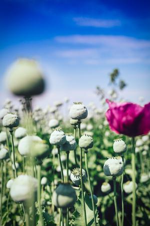 commercial medicine: Opium poppy field