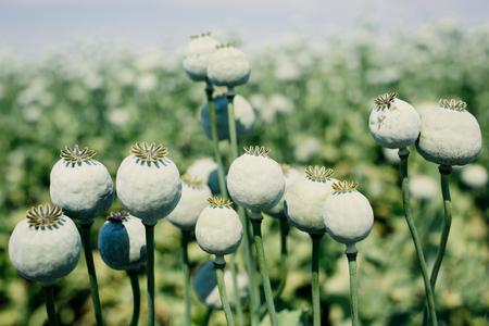opiate: Opium poppy field